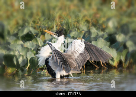 Cocoi Heron or White-necked Heron, Ardea cocoi, with feathers ruffled and wings spread in the Pantanal, Mato Grosso, - Stock Photo