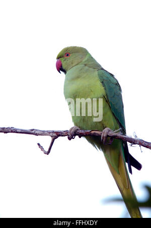 Rose-ringed Parakeet, (Psittacula krameri) an introduced, feral, bird, Tenerife, Canary Islands, Spain. - Stock Photo