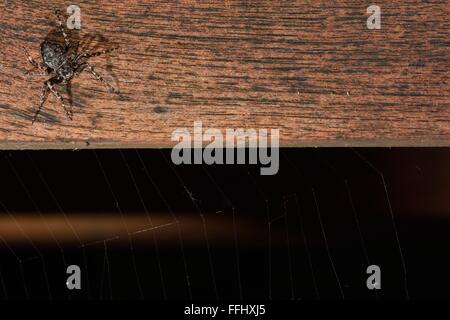 Walnut orb weaver (Nuctenea umbratica) on table with web. A large and flattened orb-weaving spider in the family - Stock Photo