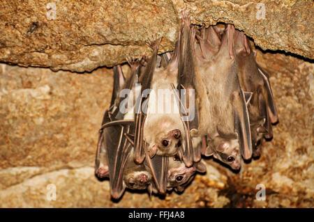 Egyptian fruit bats - Stock Photo