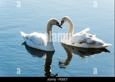 Two swans on Valentine's Day look like they're kissing and making a heart - Stock Photo