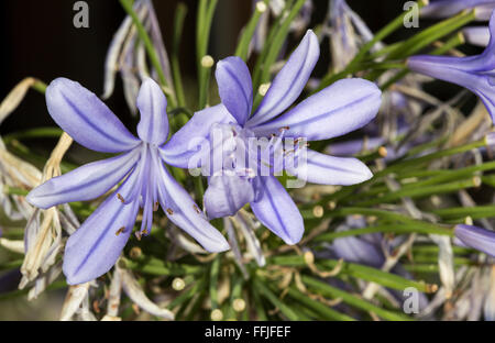 Flowers of Agapanthus, the name of this genus of flowering plants comes from the greek and means love flower. Some species of Ag Stock Photo