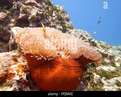 An image of a clown fish living in a soft coral. - Stock Photo