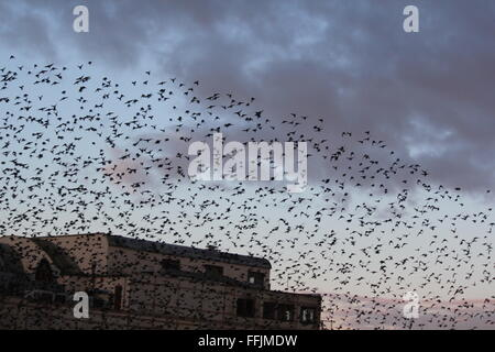 Aberystwyth, Wales. UK. 15th February, 2016. UK Weather: Sunrise when thousands of starlings take off from their - Stock Photo