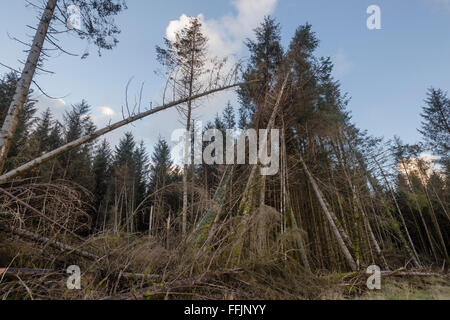 Falling trees on edge of forest, damage due to recent alteration in exposure and storms with high winds - Stock Photo