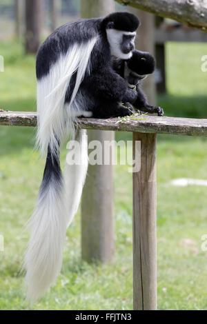 Black and White Colobus (Colubus) - Stock Photo