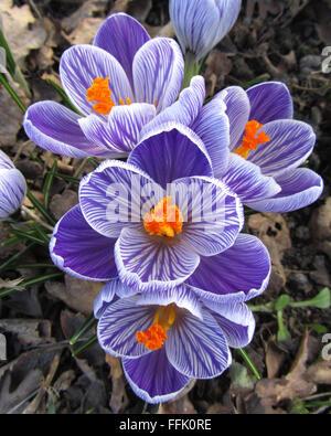 Purple Striped Crocus: The beautiful spring flowering bulb Crocus sativa, in a natural setting. - Stock Photo