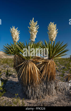 Blooming giant dagger yuccas in Dagger Flat area, Chihuahuan Desert, Big Bend National Park, Texas, USA - Stock Photo