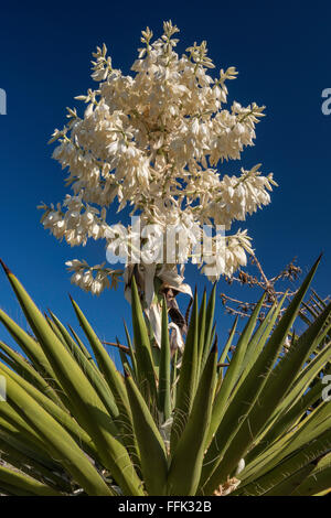 Blooming giant dagger yucca in Dagger Flat area, Chihuahuan Desert, Big Bend National Park, Texas, USA - Stock Photo