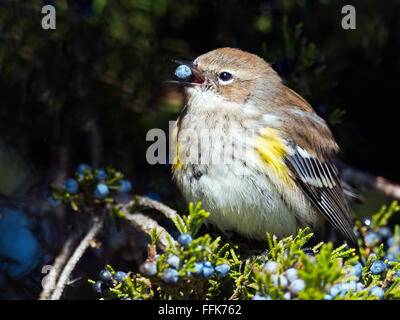 Ma;e Yellow-rumped Warbler eating berries - Stock Photo
