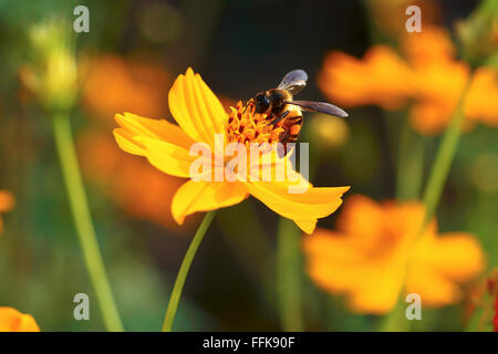 Honey Bee on Yellow Flower, Close Up Macro - Stock Photo
