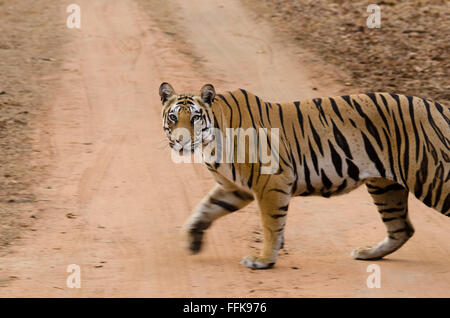 Female tiger with an attitude, crossing the road in front of safari vehicle in Bandhavgarh tiger reserve, MP, India - Stock Photo