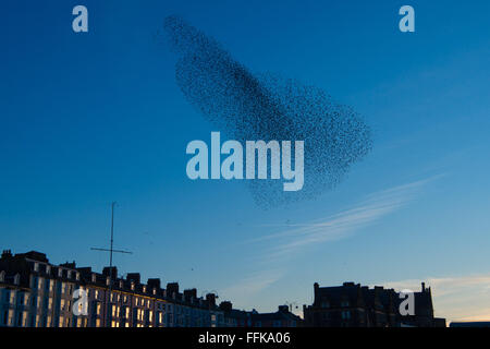Aberystwyth Wales UK, Monday  15 February 2016  UK weather: At the end of a cold winter day,  flocks of thousands - Stock Photo