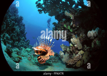 Lionfish in corals with a diver's silhouette in the background, Marsa Alam, Egypt, Red Sea - Stock Photo