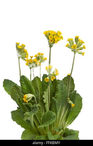 Fresh yellow flowering Primula veris on white background - Stock Photo