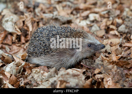 Hedgehog in the wood walking through old leaves - Stock Photo