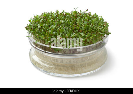 Fresh Alfalfa sprouts growing in a glass container on white background - Stock Photo