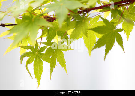 Maple leaves (Acer palmatum) in New Zealand - Stock Photo