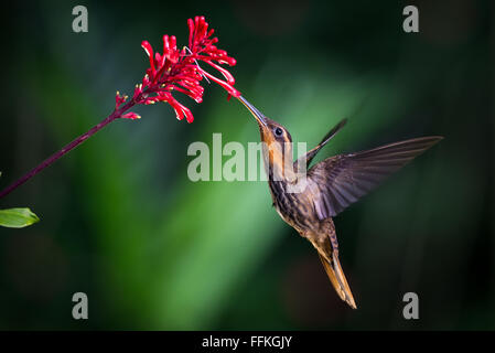 Saw-billed Hermit from the Atlantic Rainforest of SE Brazil - Stock Photo