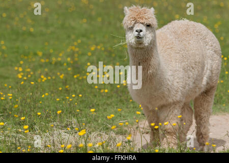 Llama portrait - a larger but related animal to the Alpaca - Stock Photo