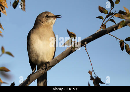 A Northern Mockingbird calling. - Stock Photo