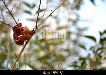 Pomegranate fruit broken open on tree. A bright pomegranate is stuck on the thorns of the tree, with red seeds exposed - Stock Photo