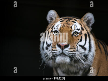 Male Amur tiger (head shot) against a black background - Stock Photo