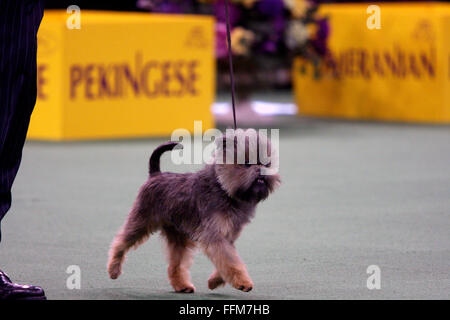 New York, USA. 15th February, 2016. An Affenpincher, during the Toy group competition at the Westminster Dog Show - Stock Photo