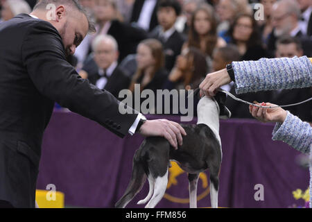 New York, USA. 15th February, 2016. An Italian Greyhound goes through the judging process for Best of Group at the - Stock Photo