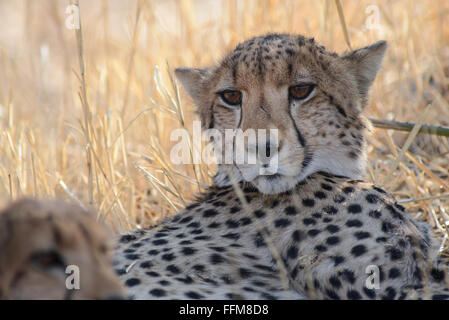 Two cheetah brothers - Stock Photo