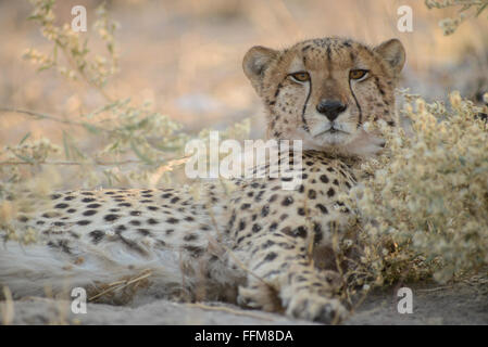 Male cheetah (acinoyx jubatus) resting between flowers in afternoon sunlight in Moremi National Park (Black Pools - Stock Photo