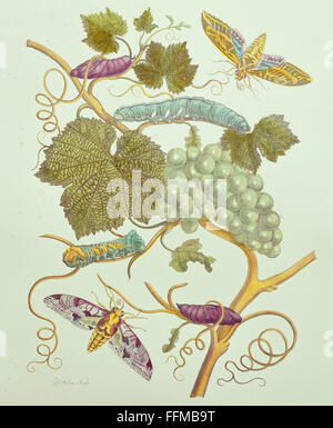 botany, grapes / vine, grape vine (Vitis vinifera), with caterpillars and butterflies of the hawkmoth, copper engraving - Stock Photo