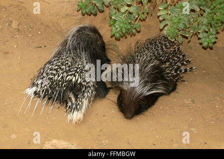 Male and female South African porcupine (Hystrix africaeaustralis), a.k.a Cape Porcupines - Stock Photo