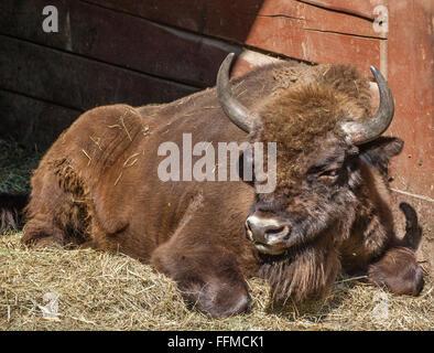 Poland, Silesian Voivodship, Pszczyna (Pless), Pokazowa Zagroda Zubrow, European wood bison in the Pszczyna Bison - Stock Photo