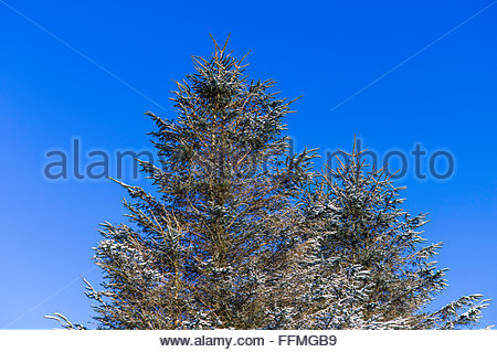 A dusting of snow on coniferous trees against a blue sky. - Stock Photo