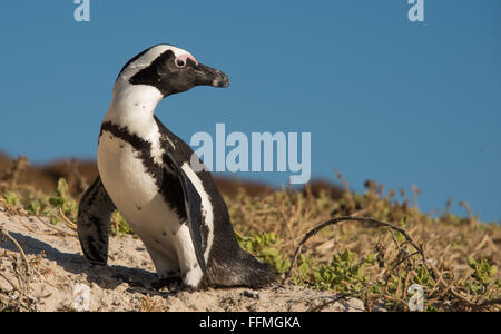 African Penguins (Spheniscus demersus) exiting the water at Boulders Beach - Stock Photo