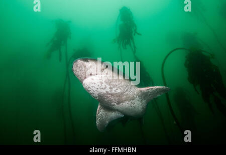 Broadnose Sevengill Shark (Notorynchus cepedianus), South Africa - Stock Photo