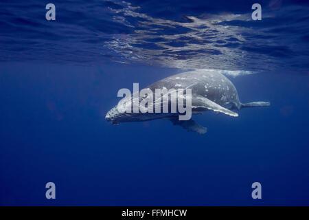 Humpback Whale (Megaptera novaeangliae) calf, Vava'u, Tonga - Stock Photo