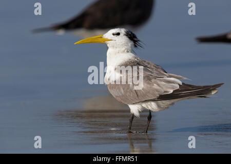 Greater Crested Tern (Thalasseus bergii), standing on a beach, Taqah, Dhofar, Oman - Stock Photo