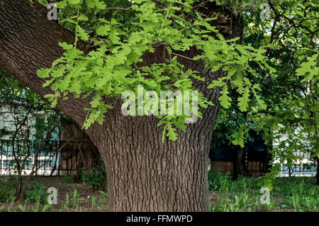Leafy oak tree with new  green sprout - Stock Photo