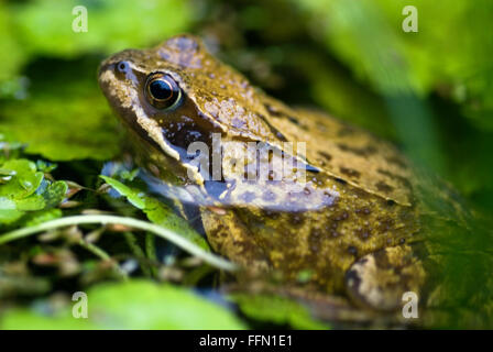 Rana temporaria Common Frog - Stock Photo