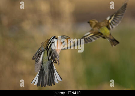 Chaffinches in flight - Stock Photo