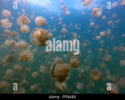 Jellyfish Lake in Palau, Micronesia, Pacific Ocean. Golden jellyfish swimming underwater, marine life, animals - Stock Photo