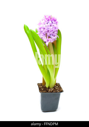 Purple hyacinth in small pot isolated on white background. Top view - Stock Photo