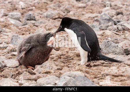 Adelie penguin (Pygoscelis adeliae) adult feeding chick, standing on rocks, Paulet island, Antarctica - Stock Photo