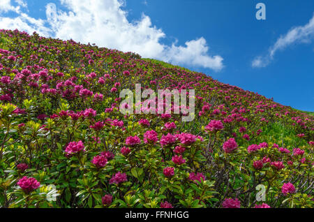 Many bushes of blooming alpine roses in a slope against blue and white sky - Stock Photo