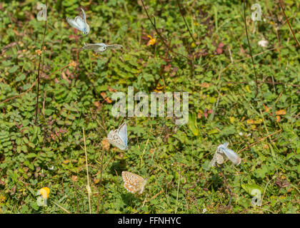 Several chalkhill blue (Polyommatus coridon) male butterflies courting female butterfly in courtship dance - Stock Photo