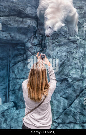 Woman recording video of a polar bear on her smartphone, Journey To Churchill, Assiniboine Park Zoo, Winnipeg, Manitoba, - Stock Photo