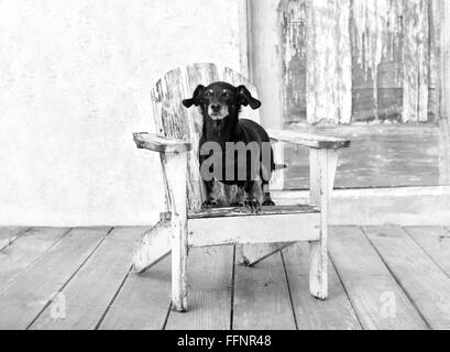 Happy  fat,elderly miniature dachshund dog stands up on a distressed white adirondack chair by old barn with peeling - Stock Photo