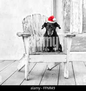 miniature tiny dachshund dog sits in  a white  adirondack chair by a distressed barn wearing a red santa hat. - Stock Photo